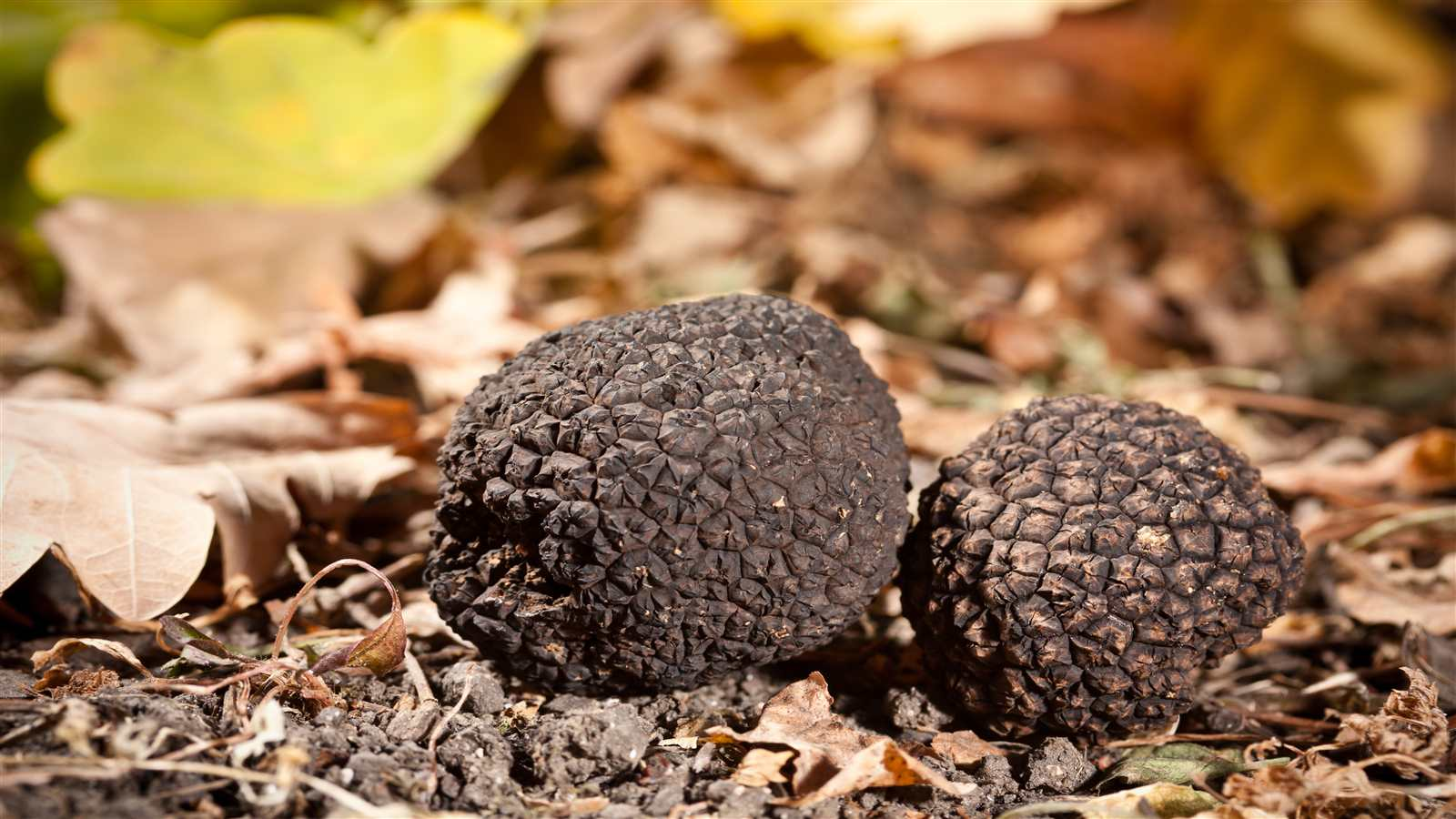 Truffle Hunting in Parma